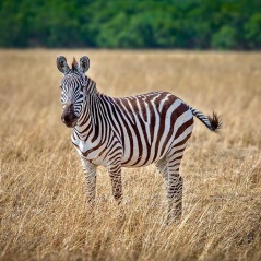 Kenya Zebra 2