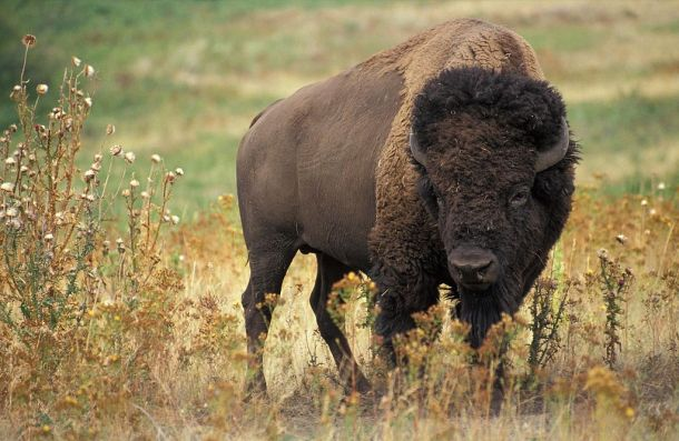 1024px-Buffalo_American_animal