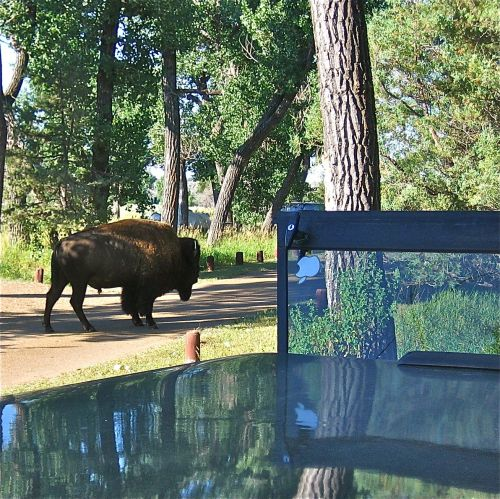Buffalo by the truck