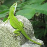 green-anole