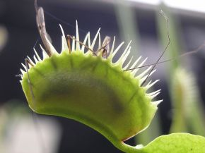 Venus Flytrap: A Wolf in Sheep's Clothing