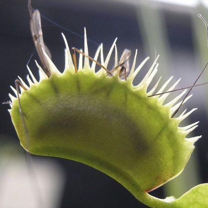 Venus fly trap w bug