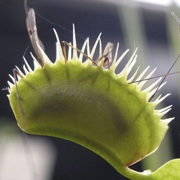 Venus fly trap w bug