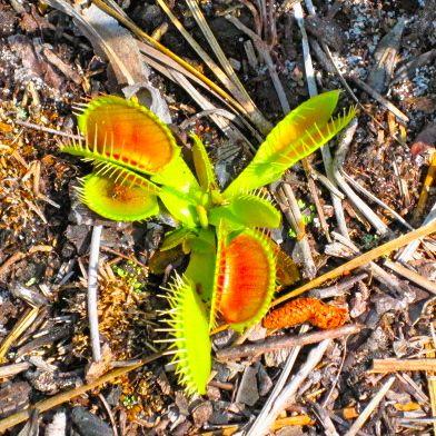 Venus flytrap 1