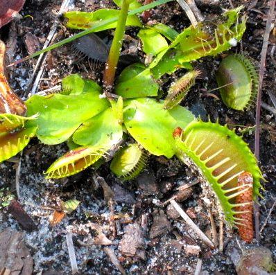 Venus flytrap 2