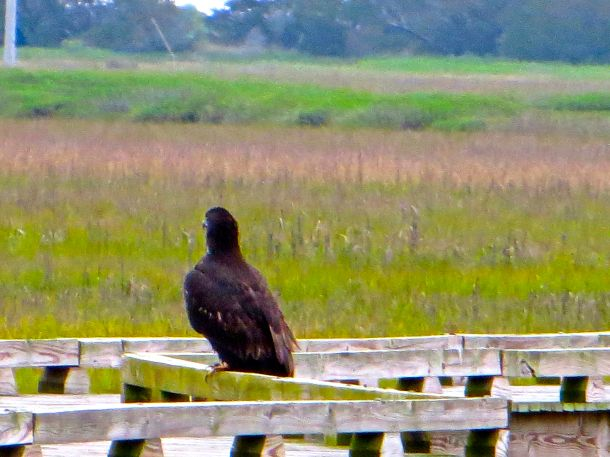 Eagle juvenile