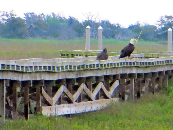 Eagle parent juvenile