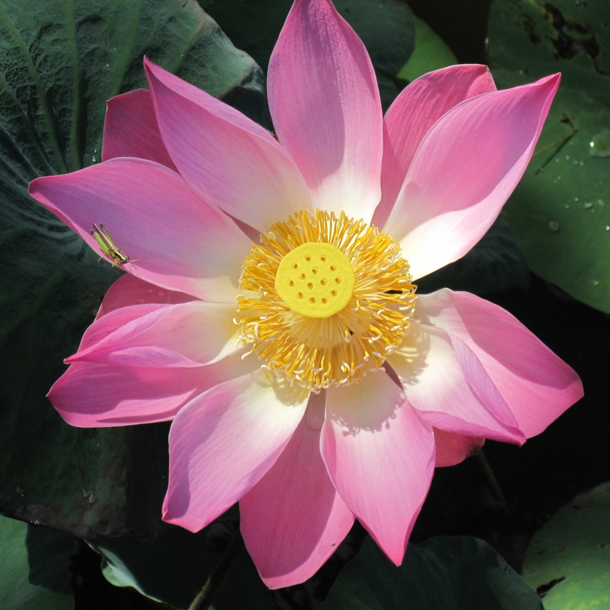 The Lotus An Exquisite Flower And Symbol Of Faith Gallivance