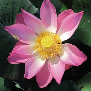 The Lotus: An Exquisite Flower and Symbol ofFaith