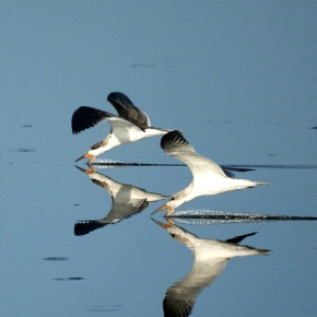Slicing Through the Water: The Black Skimmer