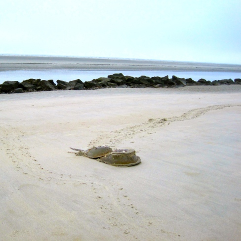 Horseshoe Crabs sq