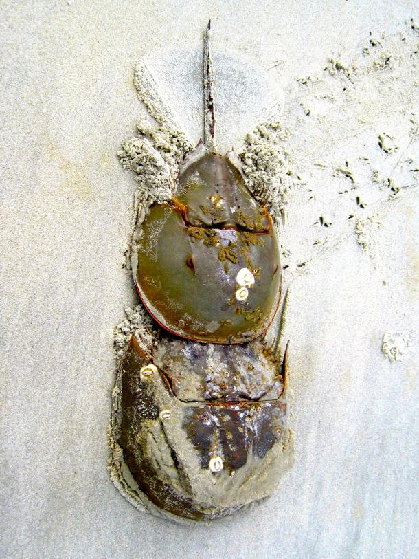 Pair of Horshoe Crabs