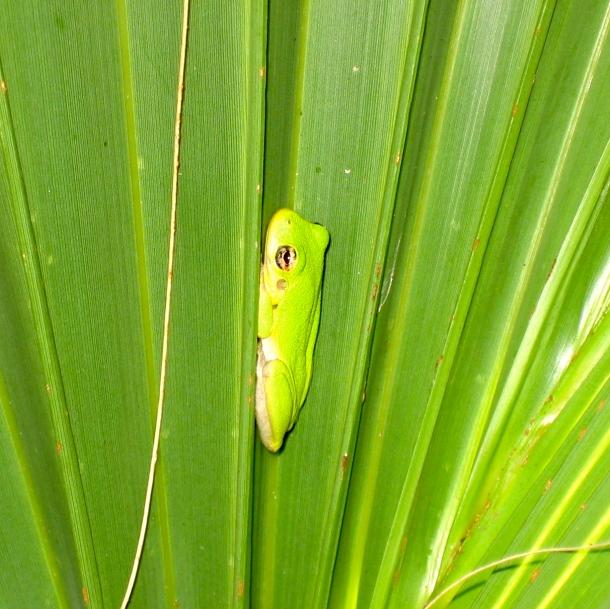 Frog on palm leaf