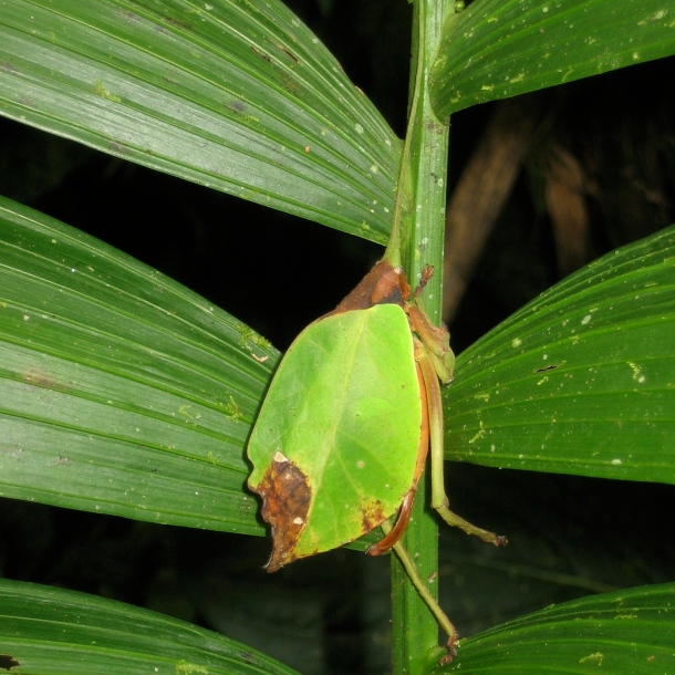 Leaf insect
