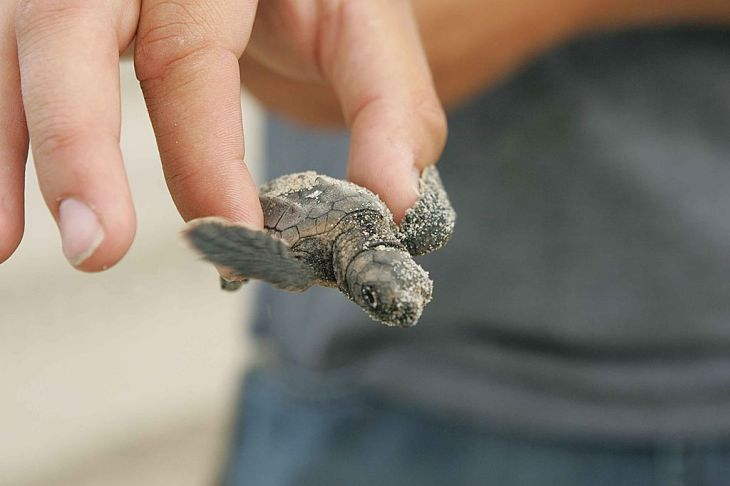 Baby_loggerhead_turtle_at_night_close_up