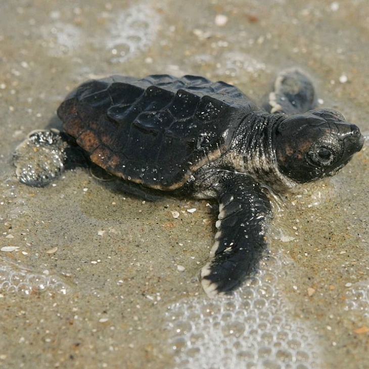 Baby_loggerhead_turtle_detailed_close_up