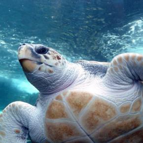 Turtle Tracks On The Beach: The LoggerheadsReturn