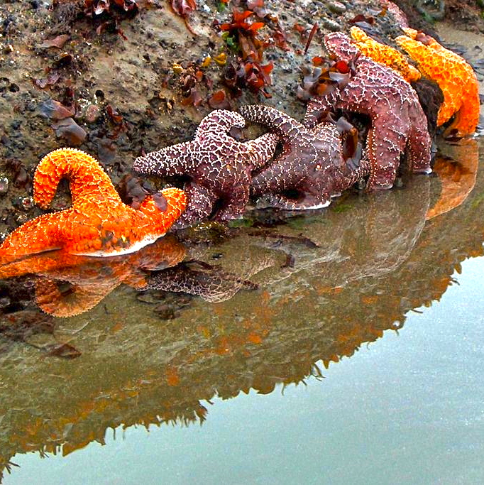 Sea Stars in a row