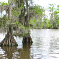 Louisiana's Cypress Trees: Wood Eternal