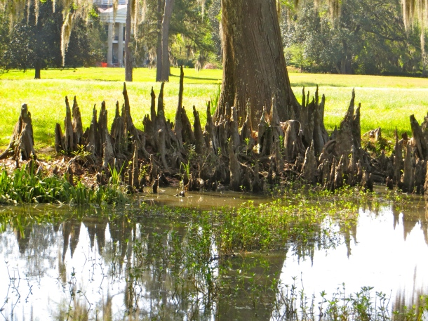 Cypress Knees near house