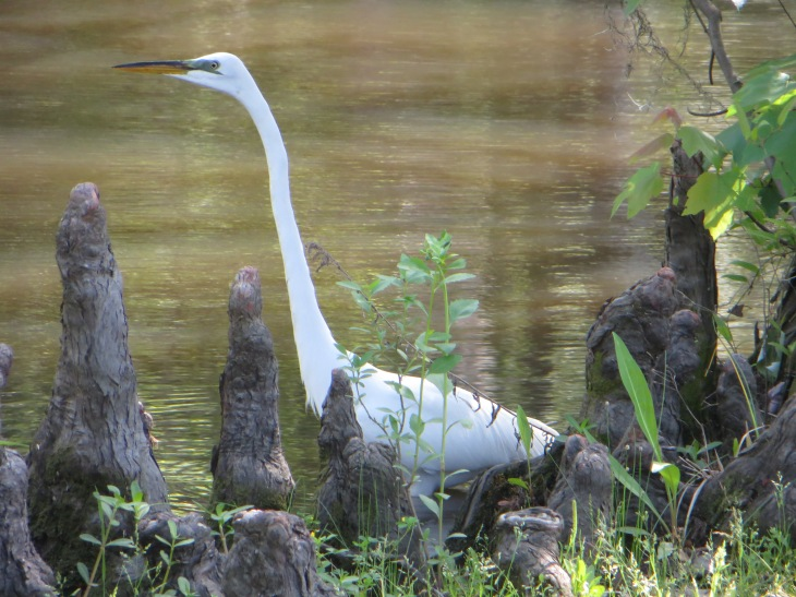 Egret Hunting in Cypress Knees