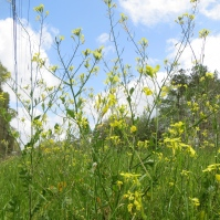 Tall Yellow Wildflowers