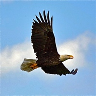 Eagle flying - Version 4