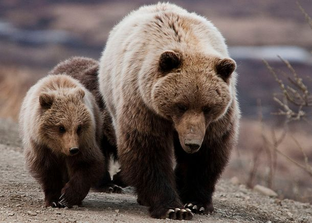 Grizzly Bear w Cubs
