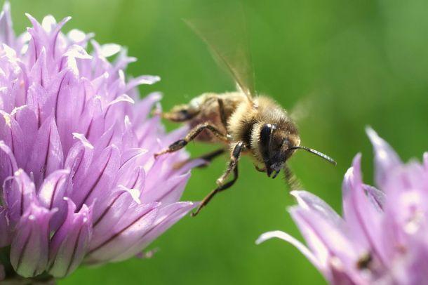 Honey_bee_departing