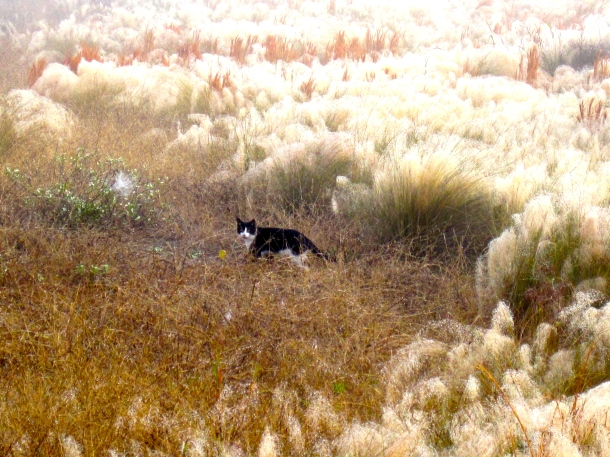 Cat Hunting in Muhly Grass