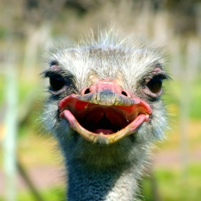 Avian Adventures At An Ostrich Ranch: South African Style