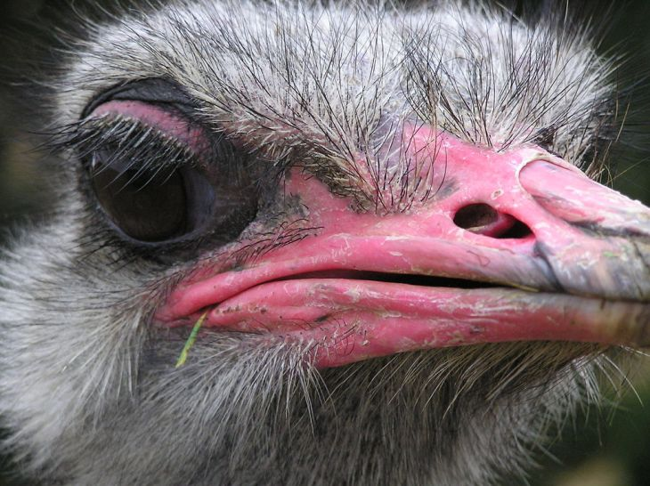 Ostrich_head_02