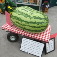 Who knew it was possible to grow a 166.6 pound watermelon!