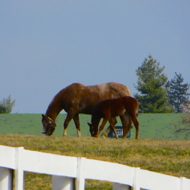 Grazing on Kentucky's Calcium-Rich Bluegrass