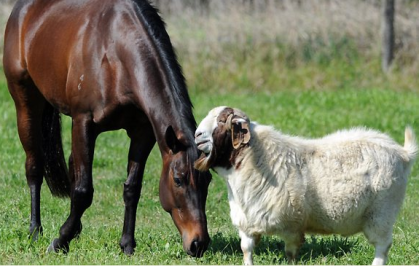 Black Caviar, an Australian superstar sprinter, and Billy, the goat.