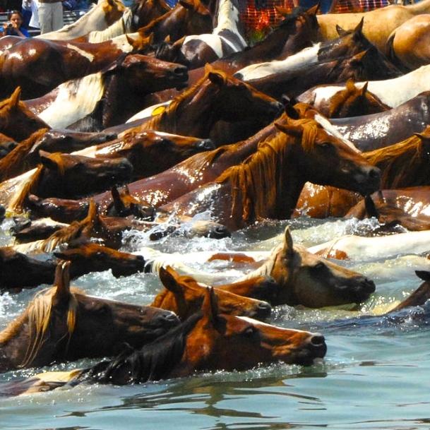 Chincoteague_pony_swim