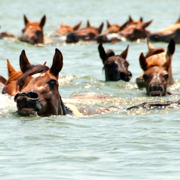 Chincoteague_Pony_swim_by_Bonnie_Gruenberg 2