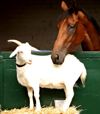 Horizons, a thoroughbred filly and Betsy, the one-horned pet goat .