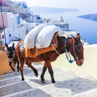 The Hard-Working Donkeys of Santorini