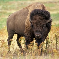 """""""Frisky"""" Buffalo In Our Tent Camp"""