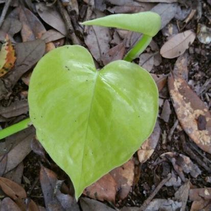 Ellen's Philodendron