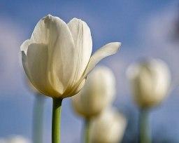 1024px-White_tulip_(258334149)